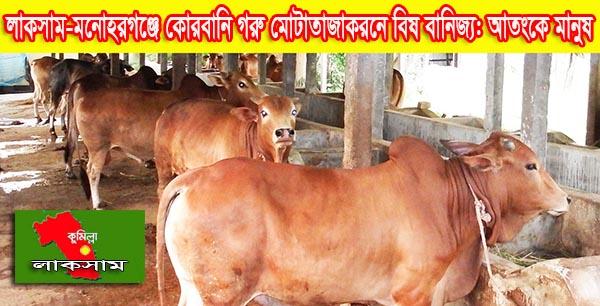 লাকসাম-মনোহরগঞ্জে কোরবানি গরু মোটাতাজাকরনে বিষ বানিজ্য: আতংকে মানুষ