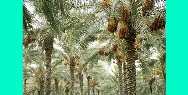 সৌদি আরবের আল-কাসিম অঞ্চলে ৮ মিলিয়ন খেজুর গাছ থেকে একসাথে খেজুর সংগ্রহের জন্য প্রস্তুত