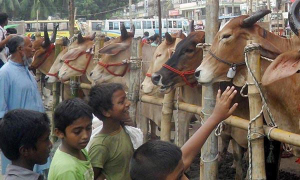 কুমিল্লার কোরবানী গরু হাটে তুলতে প্রস্তুত লকডাউনে শংকিত ব্যবসায়ী খামারীরা